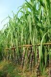 Canna da zucchero verde Immagine Stock Libera da Diritti