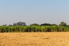 Canna da zucchero verde crescente con priorità alta la canna da zucchero raccolta Immagini Stock Libere da Diritti
