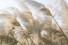 Canna della Cina, erba dell'elefante, miscanthus sinensis Fotografia Stock