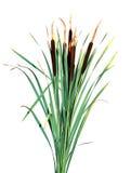 Canna della pianta isolata Fotografia Stock Libera da Diritti
