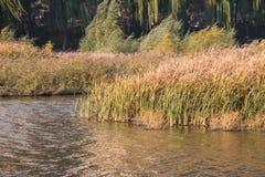 Canna di autunno Immagini Stock
