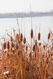 Canna di autunno Fotografia Stock Libera da Diritti