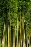 Canna di bambù Fotografia Stock