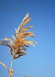Canna dorata su cielo blu Fotografia Stock Libera da Diritti