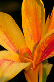Canna Flower. A portrait closeup of Canna flower with natural fold petals stock photo