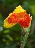 Canna Flower Stock Image