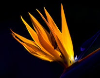 Canna Flower. And Aesthetic ,fantastic Royalty Free Stock Photo