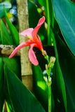 Canna flower Royalty Free Stock Photo