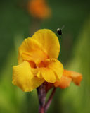 Canna Flower and Bumblebee Stock Images