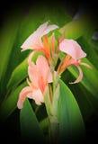 Canna flower Stock Photography
