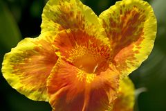 Canna flower close up Royalty Free Stock Photos