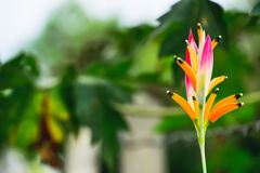 Canna flower Royalty Free Stock Images