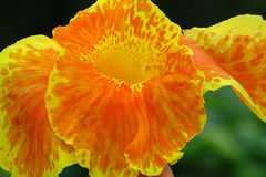 Canna flower. Canna  flower in the garden Stock Photography