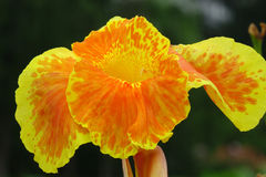 Canna flower Stock Images