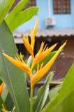 Canna flower Stock Image