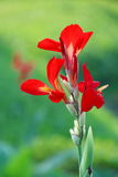 Canna Flower - Indian shot. Red Canna Flower - Indian shot Stock Photo