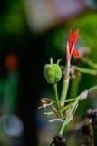 Canna flower Stock Photos