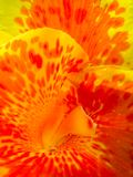 Canna Flower macro stock photography