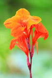 Canna flower in the park Stock Images