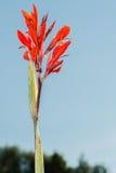 Canna flower. Stock Photography