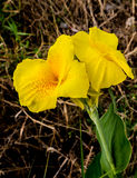 Canna flower. Yellow canna flowers in a garden Stock Images