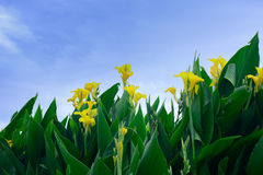 Canna flowes Royalty Free Stock Photography