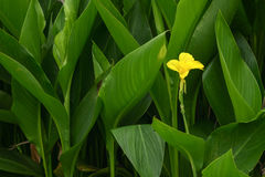 Canna flowes Royalty Free Stock Image