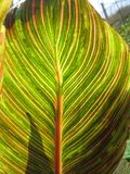 Canna foliage close up green and pink striped leaf Royalty Free Stock Photo