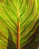 Canna foliage close up green and pink striped leaf stock photos