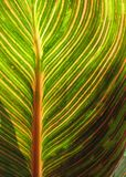 Canna foliage close up green and pink striped leaf Stock Photo