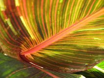Canna foliage close up red and green striped leaf Stock Photo