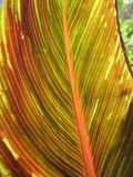 Canna foliage close up red and green striped leaf royalty free stock images