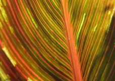 Canna foliage close up red and green striped leaf royalty free stock photos