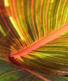 Canna foliage close up red and green striped leaf Royalty Free Stock Photography