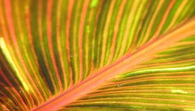 Canna foliage close up red and green striped leaf Stock Photos