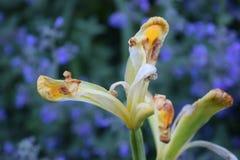 Canna-Gelb-Blumenblüte, die zurück stirbt Stockfoto