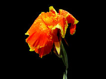 Canna, Indian Shot flowers isolated on black background. Royalty Free Stock Images