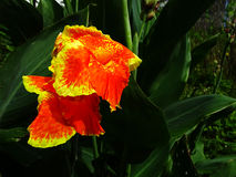 Canna, Indian shot Royalty Free Stock Images