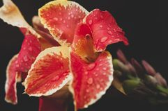 Canna Indica Λ orientalis ποικιλίας σκούρο παρτοκαλί και κίτρινα με τις σταγόνες βροχής στον κλάδο στοκ φωτογραφίες