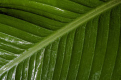 Canna Indica. Indian Cane Leaf after rain Royalty Free Stock Photography