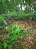 Canna indica. Green Canna indica in the field Stock Photos