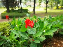 Canna indica Royalty Free Stock Images