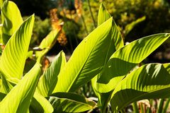 Canna indica Stock Photography