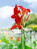 Canna, Canna indica or Indian shot or African arrowroot or Sierr royalty free stock photo