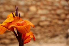 Canna indica Royalty Free Stock Photos