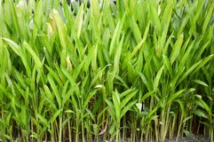 Canna indica plant Stock Images