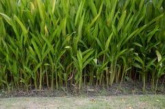 Canna indica plants Royalty Free Stock Photos