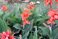 Canna indica, tir indien Photo libre de droits