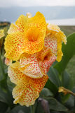 Canna indica Royalty Free Stock Photo