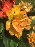 Canna Indica. Yellow flowers closeup Royalty Free Stock Photos